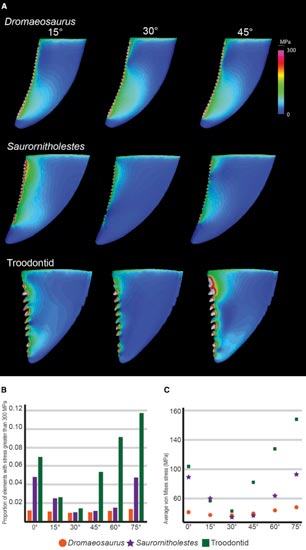 Stress tests on different Theropod dinosaur teeth.